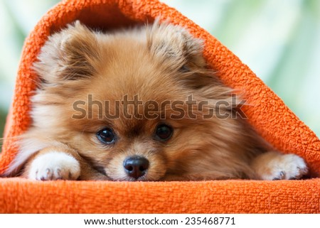 cute and funny puppy Pomeranian smiling on orange background - stock photo