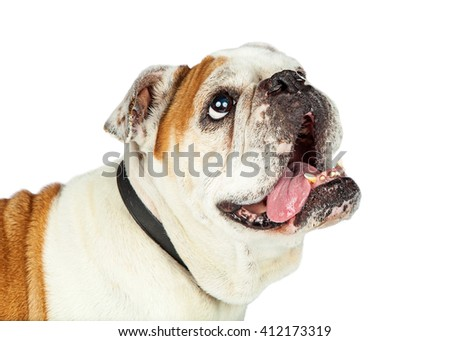 Cute and happy English Bulldog breed dog looking up and to side - stock photo