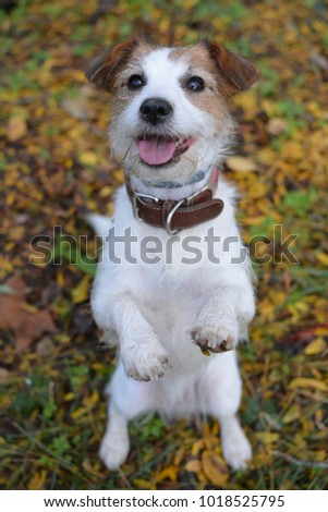 CUTE AND HAPPY JACK RUSSELL DOG STANDING ON TWO LEGS BEGGING FOOD ON ORANGE NATURAL BACKGROUND ON FOREST