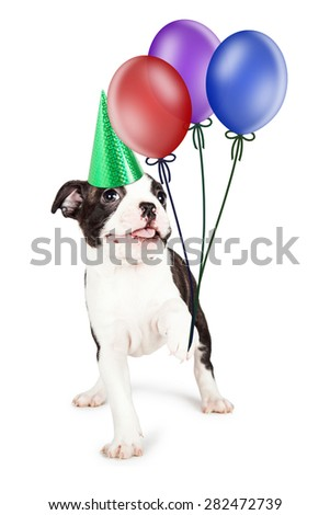 Cute and happy little Boston Terrier puppy dog holding up three colorful balloons and wearing a birthday hat - stock photo