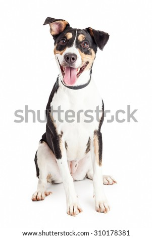 Cute and happy mixed breed medium size family dog sitting and looking forward into the camera with mouth open and tongue out - stock photo