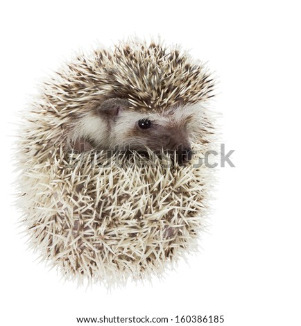 Cute and heartwarming African pygmy hedgehog (Atelerix albiventris) - stock photo