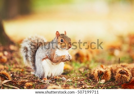 Cute and hungry squirrel eating a chestnut in autumn scene. Hyde park, London, United Kingdom
