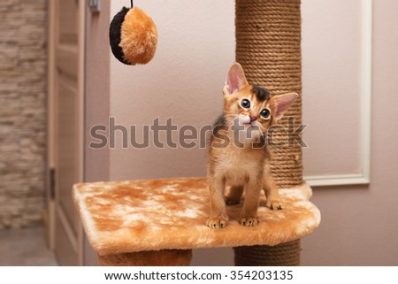 cute and lovely purebred abyssinian little cat on the cat house posing and staring with curiosity - stock photo
