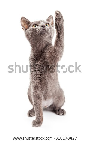 Cute and playful grey color kitten looking up and raising her paw up to bat at a toy that is out of the frame