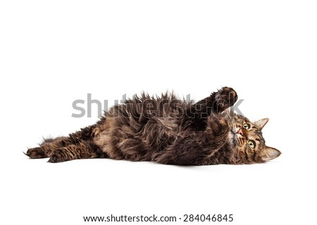 Cute and playful longhair tabby cat laying on her back with paws lifted up