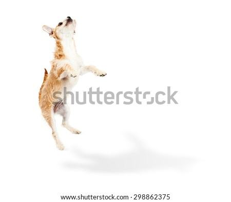 Cute and playful terrier crossbreed puppy dog jumping up in the air with a shadow on the floor and white copy space for your text - stock photo