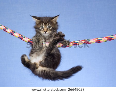 Cute and pretty Maine Coon MC kitten hanging from colorful rope on light blue background fabric - stock photo