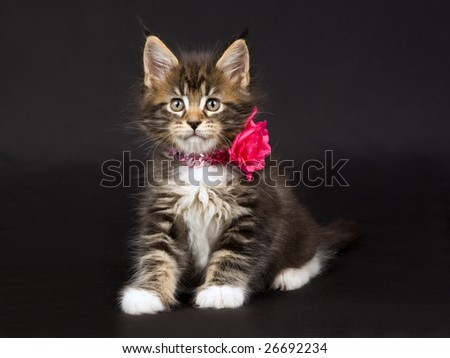 Cute and pretty Maine Coon MC kitten sitting on black background, wearing shiny bright pink neck collar and fake flower - stock photo