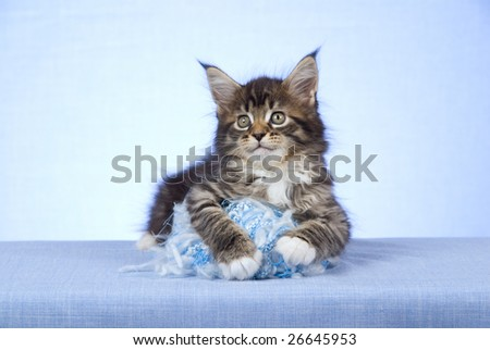 Cute and pretty Maine Coon MC kitten sitting on light blue background fabric will ball of yarn wool - stock photo