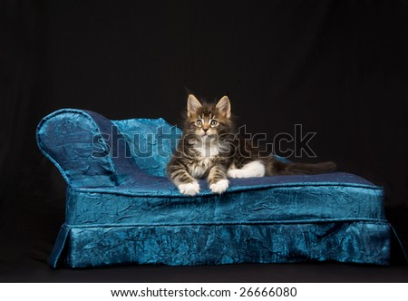 Cute and pretty Maine Coon MC kitten sitting on miniature chaise chair couch sofa on black background - stock photo