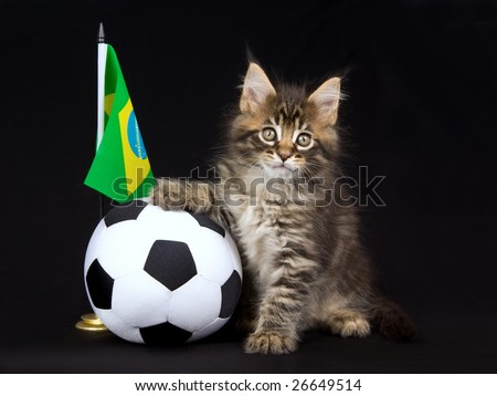 Cute and pretty Maine Coon MC kitten with miniature soft soccer ball and country flag, on black background - stock photo