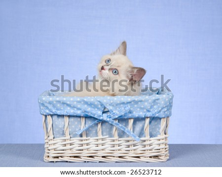 Cute and pretty Ragdoll kitten sitting inside white and blue woven basket, on blue background