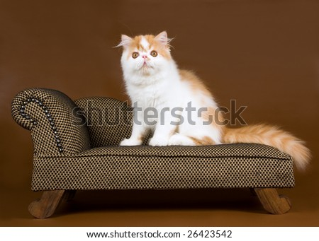 Cute and pretty red and white Persian kitten sitting on miniature brown chaise couch sofa against brown vinyl leather background - stock photo