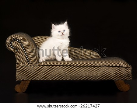 Cute and pretty 5 week old Ragdoll kitten on brown chaise sofa couch on black background - stock photo