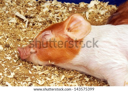 Cute and sleeping little pig or piglet - stock photo