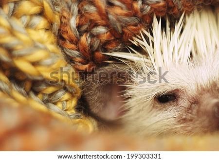 cute and sweet hedgehog baby sleeping - stock photo