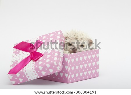 cute and sweet small african pygmy hedgehog baby lies and roll  in a gift box - stock photo