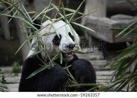 cute animal chinese giant panda feeding in zoo - stock photo