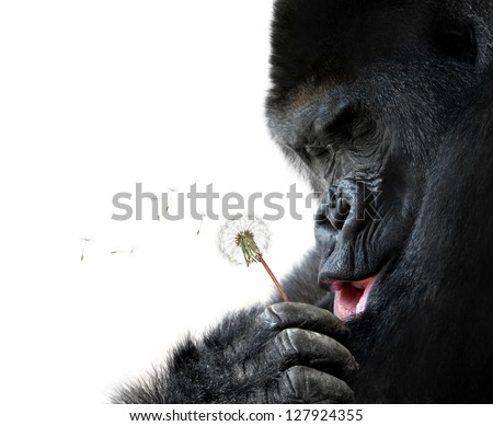 Cute animal portrait of a gorilla making a wish, isolated on white background - stock photo