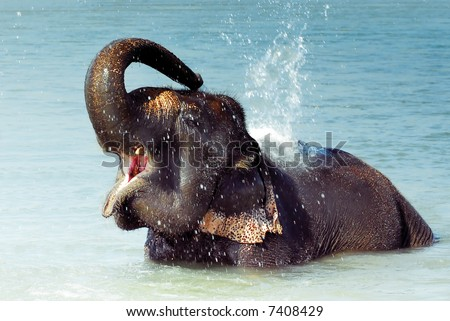 Cute Asian elephant splashing with water while taking a bath in Chitwan N.P. Nepal - stock photo