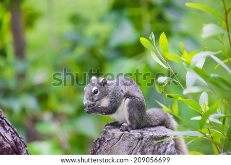 Cute Asian grey squirrel eating a nut on the top of tree trunk in the wood - stock photo