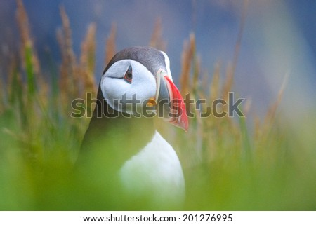 Cute Atlantic puffin in Iceland - stock photo