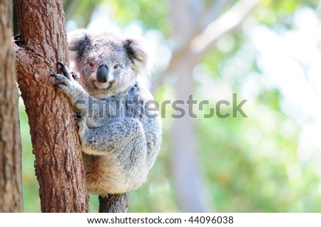 Cute Australian koala in its natural habitat of gumtrees - stock photo