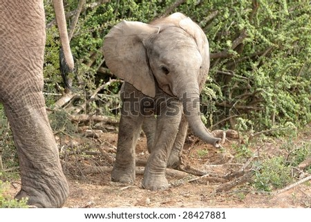 Cute baby African elephant standing behind it's mothers tail - stock photo
