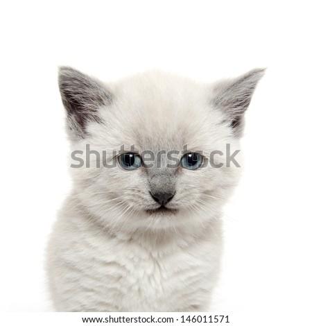 Cute baby American shorthair kitten on white background - stock photo