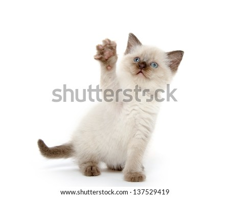 Cute baby American shorthair kitten playing on white background - stock photo