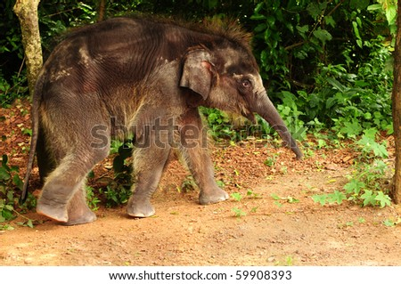 Cute baby asian elephant taking a stroll through the jungle - stock photo