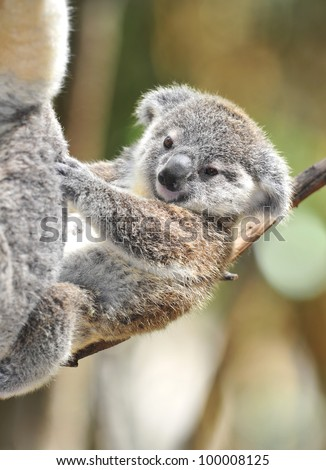 cute baby Australian Koala Bear joey , Sydney, Australia grey bear, cradled reclining behind mother on branch in eucalyptus tree cuddly furry infant son daughter - stock photo