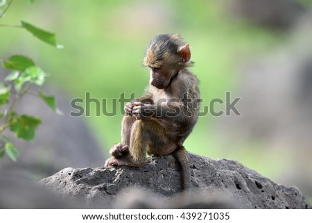 cute baby baboon in african natural park - stock photo