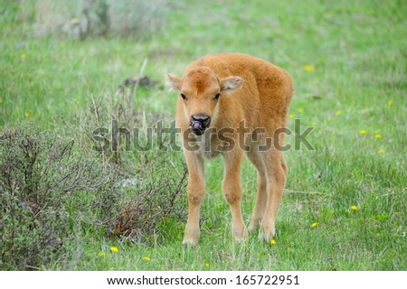 Cute Baby Bison. - stock photo