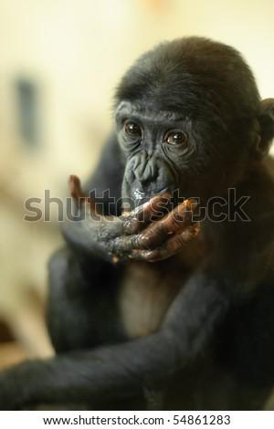 Cute baby Bonobo monkey (Pan paniscus) - stock photo