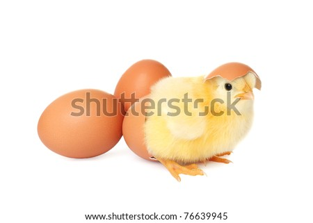 Cute baby chicken with eggs - stock photo