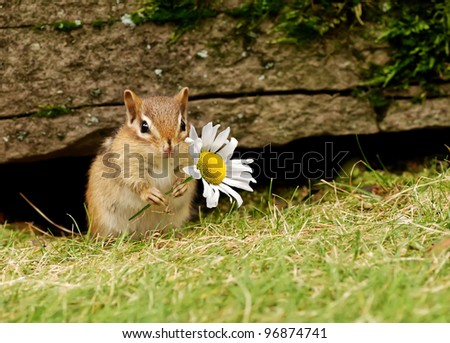 Cute baby chipmunk holding a daisy - stock photo