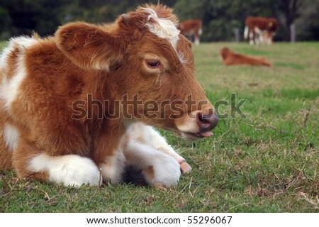 cute baby cow in the rural setting of the sunshine coast hinterland