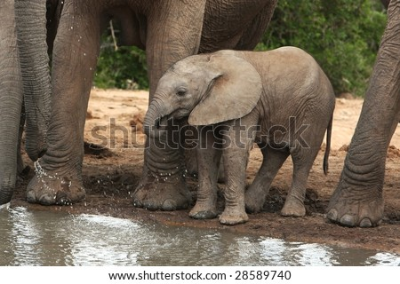 Cute baby elephant drinking water at an African waterhole - stock photo