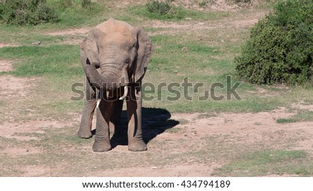 Cute baby elephant ready to strike a pose -  The African bush elephant is the larger of the two species of African elephant. - stock photo