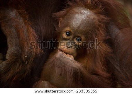 Cute baby face of Orangutan in south Borneo Indonesia. - stock photo