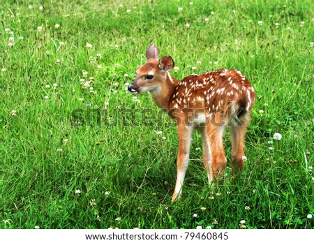 cute baby fawn deer with white spots is standing in a thick green field of clover - stock photo