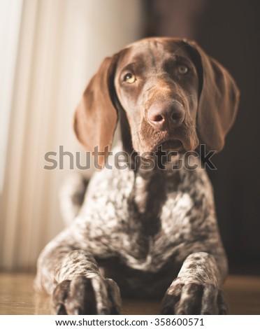Cute baby German Pointer posing at home, looking at camera - stock photo