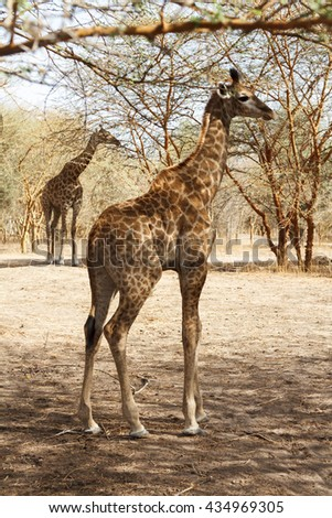 Cute baby giraffe in Senegal with the mother standing in the background. - stock photo