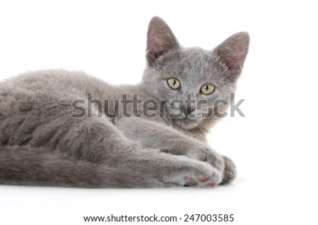 Cute baby gray cat laying down and isolated on white background