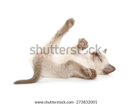 Cute baby kitten laying down and isolated on white background - stock photo