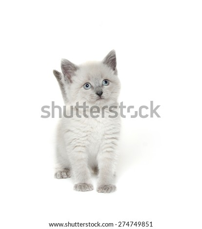 Cute baby kitten with light fur and gray ears, tail and paws plays on white background. - stock photo