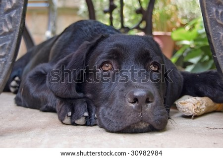 Cute baby Labrador laying on the ground next to his bone. - stock photo
