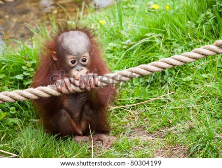 cute baby orangutan holding a rope in the grass - stock photo